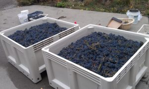 Chouinard Cabernet Grapes