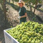 Harvest - Julie picking Grapes